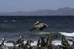 Seabirds at Playa Juncalito, Bahia Concepsion, Baja California Sur, Mexico