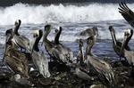 Pelicans at Playa Juncalito, Bahia Concepsion, Baja California Sur, Mexico
