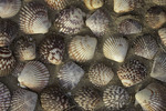 Seashells on shore of Laguna San Ignacio, Baja California Sur, Mexico