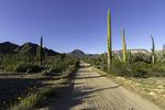 Cardon cactus on the road to Mission San Borja, Baja California Norte, Mexico