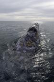 Gray whale, Scammons Lagoon, Guerrero Negro, Baja California Sur, Mexico