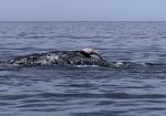 Penis (dork) of a gray whale, Scammon's Lagoon, Guerrero Negro, Baja California, Mexico
