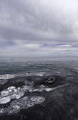 Gray whale eye, Scammon's Lagoon, Guerrero Negro, Baja California Sur, Mexico