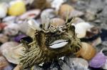Pufferfish carcass on Isla Espiritu Santo, Sea of Cortez, Baja California Sur, Mexico