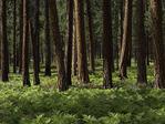 Ponderosa forest near Sisters, Oregon