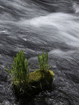 Life grows in the Metolius River, central Oregon