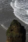 Bald eagle watching above the Pacific Ocean, Oregon Dunes, Oregon