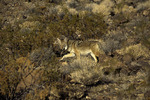 Coyote roaming in Death Valley National Park, California