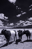 Belted Galloway Cattle, Loa, Utah