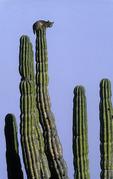 A bobcat spies for prey atop a cardon cactus in central Baja California Sur, Mexico