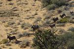 Desert bighorn sheep roam the sandstone at Coyote Buttes South, Vermillion Wilderness, Arizona