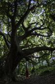 Julie Fields explores a forest glen, Maui, Hawaii