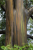 Eucalyptus deglupta, 'Rainbow Eucalyptus', Maui, Hawaii