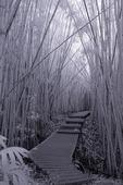 Bamboo Forest in Haleakala National Park, Maui, Hawaii