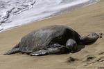 A green sea turtle rests on the beach near Lahaina, Maui, Hawaii