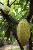 Cacao pod ripening on the tree at Ku'ia Estates Chocolate Farms, Lahaina, Maui, Hawaii
