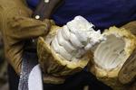 Cacao pod opened to show the beans, at Ku'ia Estates Chocolate Farms, Lahaina, Maui, Hawaii