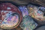 Abalone shell, Mendocino County, California