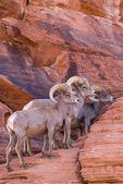 Desert bighorn rams, Valley of Fire State Park, Nevada