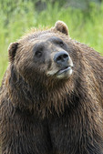 Grizzly in the rain, Alaska Wildlife Conservation Center, Alaska