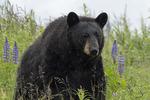 Black bear in the rain, Alaska Wildlife Conservation Center, Alaska