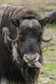 Musk Ox in the rain, Alaska Wildlife Conservation Center, Alaska