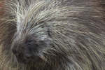 Porcupine, Alaska Wildlife Conservation Center, Alaska