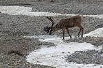 Cariboo, Denali National Park, Alaska