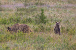Grizzly mother and cub, Glacier NP, Montana
