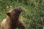 Brown (or Black) bear feeding on berries, Glacier NP, Montana