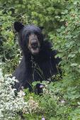 Black bear feeding on berries, Glacier NP, Montana