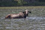 Moose feeding in Fishercap Lake, Glacier NP, Montana