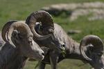 Rocky Mountain bighorn sheep, Logan Pass, Glacier NP, Montana