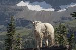 Rocky Mountain goat, Logan Pass, Glacier NP, Montana