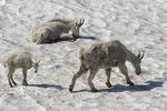 Rocky Mountain goats chill on a snowfield off Hidden Lake Trail, Logan Pass, Glacier NP, Montana