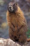 Yellow-bellied Marmot, San Juan National Forest, Colorado