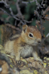 A young Golden-mantled Ground Squirrel