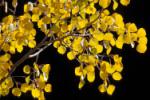 Golden Fall Aspen leaves