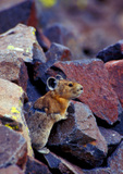Pika among boulders, San Juan National Forest, Colorado