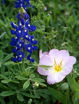 Texas Bluebonnets and Pink Evening Primrose , Washington County , Texas