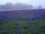 Texas Bluebonnets in fog, Washington County , Texas