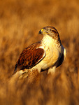 Ferruginous Hawk (female,controlled conditions) Northern Colorado