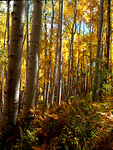 A grove of Fall Aspen trees, Gunnison National Forest, Colorado