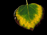 Changing colors of an Aspen leaf from Summer to Fall, Colorado