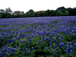 Field of Bluebonnets, Texas