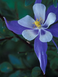 Colorado Blue Columbine, San Juan Mountains, Colorado