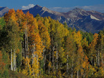 Fall Aspen trees, Gunnison National Forest, Colorado