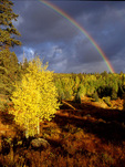 Rainbow and Fall Aspen, Colorado