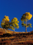 Three Fall Aspen trees against a blue sky, Colorado