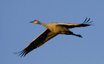 Sandhill Crane in flight, Bosque del Apache National Wildlife Refuge, New Mexico